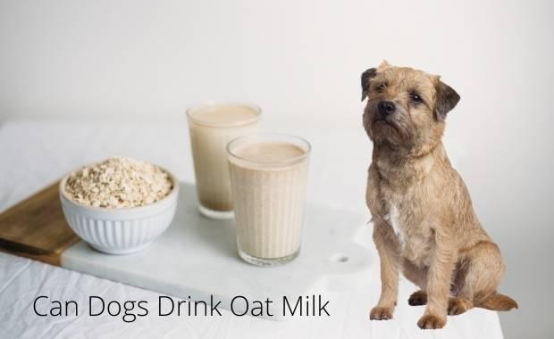 can dogs drink oat milk