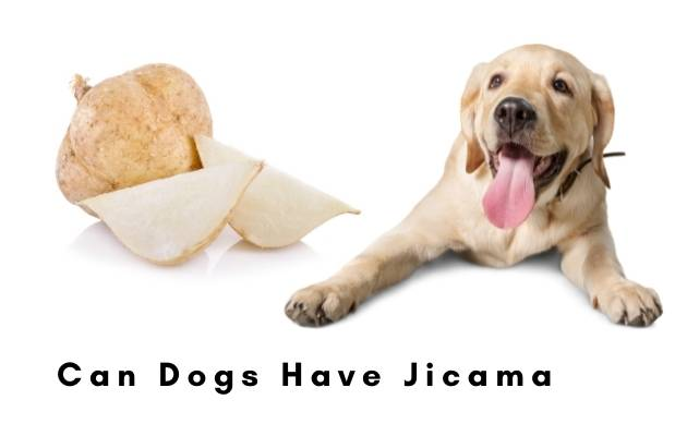 Can dogs have jicama
