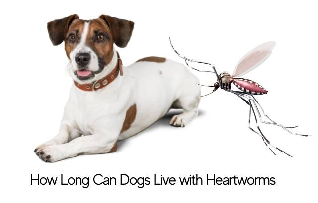 how long can dogs live with heartworms